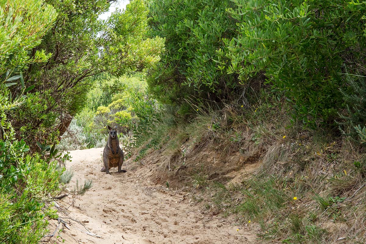 Great Ocean Walk (kangaroo on trail)
