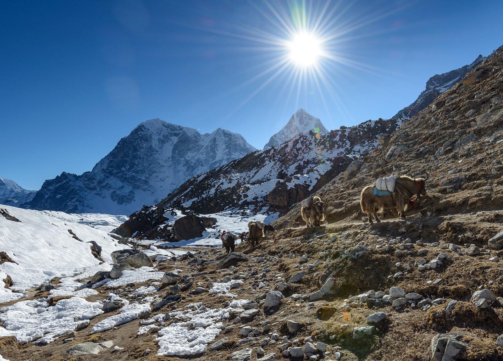 Yaks de trekking al campamento base del Everest