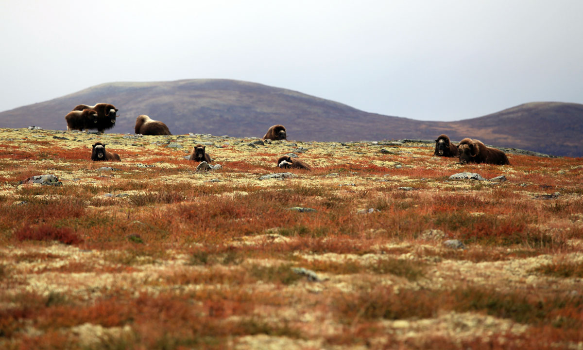Dovrefjell Musk Oxen, Norway