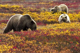 Alaska Grizzly Bears