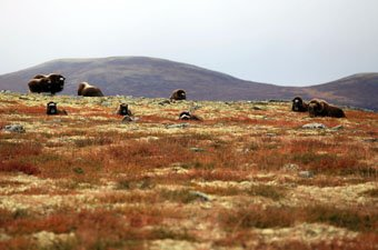 Dovrefjell Musk Oxen, Norway